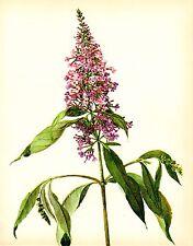 Vintage Pink LILAC Botanical Print Pink Flower Gallery Wall Art Shrub 2037