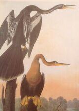 American Anhinga Black-bellied Darter Audubon Bird Print Picture Poster Art