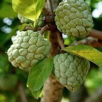 Zimtapfel, tolle essbare Früchte mit einer Schuppenhaut, Zierbaum Exot.
