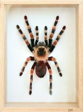 Unique Real Tarantula (Mexican Giant Orange Knee M) Taxidermy - Mounted,Framed