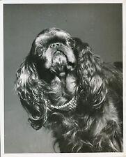 COCKER AMÉRICAIN c. 1950 - Chien Collier Strass Grand Format - CH 46