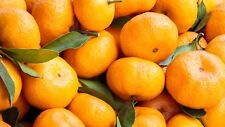 TANGERINE Essential Oil, all natural, 100% uncut, 1 lb, more lbs shipped free