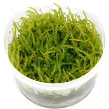 Vesicularia ferriei 'Weeping' Moss 1-2-Grow In Vitro Aquarium Plant Shrimp Safe