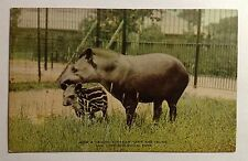SOUTH AMERICAN TAPIR & YOUNG  NEW YORK ZOO EARLY 1900s  POST CARD #1108
