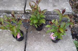 Hydrangea Macaroni. You & me Romance 3 plant's