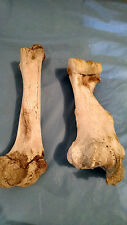 Two Real Cow Leg Bones  for Taxidermy Crafts Carving Western Landscaping