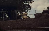 Vintage Photo Slide 1986 Mountain Goats Burnet Park