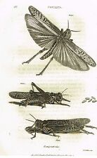 """Shaw's General Zoology (Insects) - """"Locust - Gryllus"""" - Copper Eng. - 1805"""