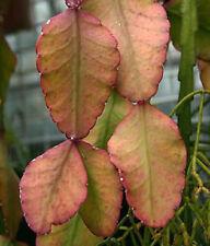 Rhipsalis elliptica, rare epiphyllum cacti exotic succulent plant seed 20 SEEDS