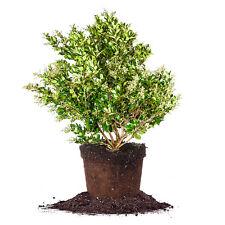Wax Ligustrum, Live Plant, Size: 3 Gallon