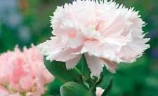 Carnation (Dianthus Caryophyllus Chabaud)- La France - 50 Seeds