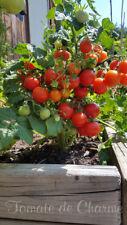 10 graines de tomate nain cerise VILMA dwarf cherry.. pot balcon terrasse m.bio