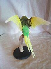 taxidermie oiseaux perruche empaillé naturalisé taxidermy bird   curiosité