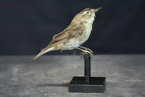 Taxidermy-hunting-chasse-präparat- Moustached Warbler with permit