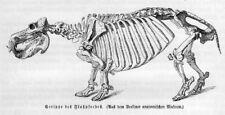 SKELETT ANATOMIE FLUSSPFERD (Hippopotamus amphibius)  Holzstich von 1891