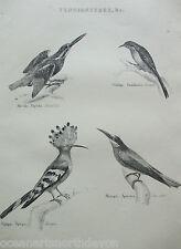 Antigua Impresión c1880s Grabado tenuirostres pájaros Martín Pescador Creeper Bee Eater