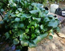 Eichhornia crassipes - Giacinto d'acqua (LEGGERE DESCRIZIONE)
