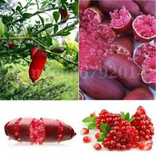 20PCS Ice Pink Finger Lime Seeds Home Garden Rare Plant AU Lemon Caviar Fruit