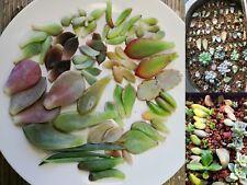 SUCCULENT 10/20/30/40/50 PCS Mixed Succulent Leaves Freshly Cut Free Post In Box