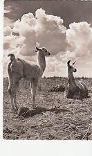 B81820 llama viecuna and llama animals  peru front/back image