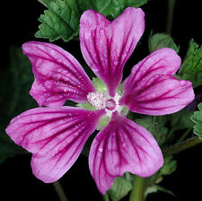 A 0.5g (approx.100) malva sylvestris seeds MALLOW big variety for medicinal uses