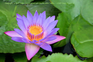 Nymphaea nouchali stellata Blue Star Lotus Water Lily 10 Seeds Aquatic Plant
