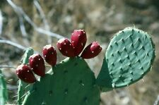Prickly Pear Cactus seeds(Cold Hardy Perennial ) 10 seeds-Opuntia Humifusa