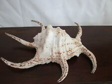 "Giant Chiragra Spider Conch 8 1/2"" Long 3"" Wide Indo-Pacific-AMAZING!"