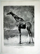 The Southern Giraffe The Tallest Mammal To Walk The Earth Vintage c1901 Print