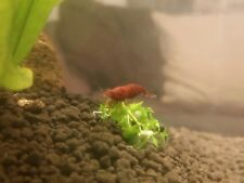 Cherry Shrimp Bloody Mary x 12 High Grade Home UK Bred