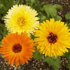 Beautiful Calendula Pacific Beauty fresh organic 75 seeds plus