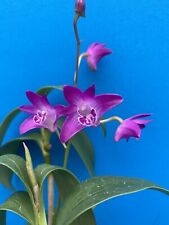Dendrobium kingianum Strong Fragrance Deep Purple Orchid Species 5� (15)