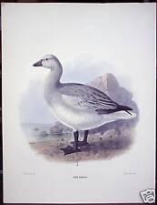 "J. G. Keulemans: ""Chen Albatus"" ca. 1880"