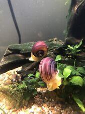 5 + 1 Free MAGENTA Mystery Snails (Pomacea Bridgesii) Live Freshwater Snails