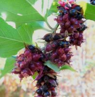 i! KARAMELL-BEERE !i Kletterpflanze Duftsamen Garten Pflanze Obst Strauch.