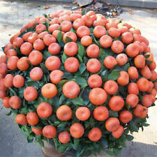 30pcs/pack Balcony Patio Potted Fruit Tree Seeds Kumquat Orange Tangerine Citrus