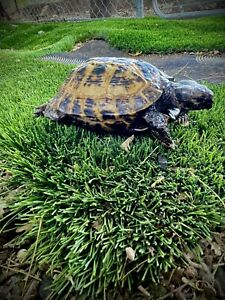 taxidermy mount russian tortoise related snake lizard reptile