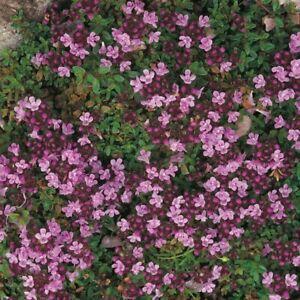 Herb - Thyme Purple Creeping - 1500 Seeds