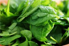 60 Graines d'Epinard Matador Méthode BIO seeds plantes légumes potager ancien