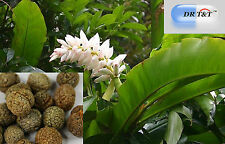 DR T&T  100g dry herb of  Cao Dou Kou (Semen Alpiniae Katsumadai)