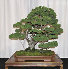 HINOKI CYPRESS - Chamaecyparis 100 Seeds bonsai