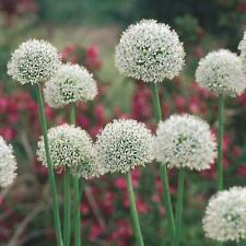 x3 White Allium Mount Everest HUGE 22+ top sized bulbs *READY NOW*