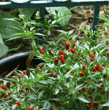 Vegetable Seeds - Hot Birds Eye Chili Pepper Chiltepin Capsicum 30 Seeds