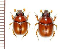Bolboceratidae:Bolbelasmus nativus ishigakiensis pair,A1, unmounted,Japan,beetle