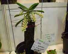 Miniature! Rare orchid species! Fragrant Tuberolabium kotoense - 75mm POT - QOB