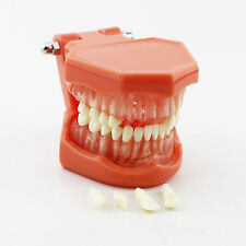 Dental Removable Teaching Teeth Model 7005 Adult Standard Typodont Demonstration