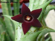 823 Orbea decaisneana ,  Apocynaceae , Asclepiadaceae