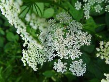 Aegopodium podagraria GIERSCH über 50 Samen Wildgemüse Heilpflanzen