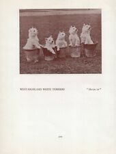 WESTIE WEST HIGHLAND WHITE TERRIER DOGS IN POTS OLD VINTAGE 1934 DOG PRINT PAGE