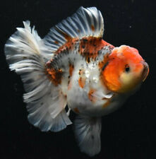 Rosetail Thai Oranda Fry Package- Jeff's Betta Biosphere